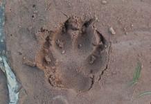การศึกษารอยเท้าสัตว์