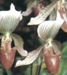 กล้วยไม้รองเท้านารี, กล้วยไม้, ดอกกล้วยไม้, กล้วยไม้ไทย, กล้วยไม้ไทย, กล้วยไม้ ช้างเผือก, orchid, orchidsiam